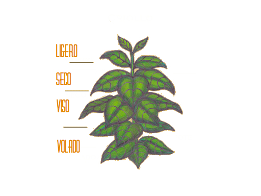 Diagram of Cigar plant and the different Ligero, Seco & Volado leaves